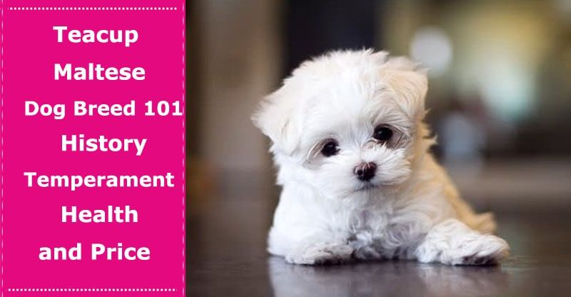 Teacup Maltese Dog Breed 101 History, Temperament, Health