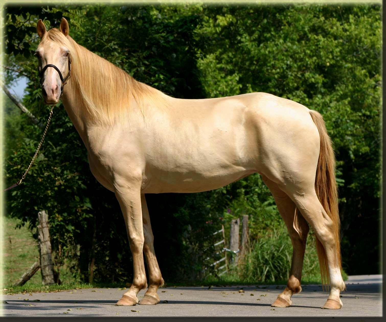 Kentucky Mountain Saddle Horse Rocky Mountain Horse Mare Horses Horse Equestrian Horse World [ 1260 x 1510 Pixel ]
