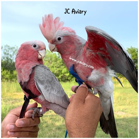 Rose Breasted Cockatoo 178330 For Sale In Austin Tx Cockatoo Australian Wildlife Galah Cockatoo
