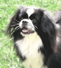 Image result for tibetan spaniel japanese chin mix