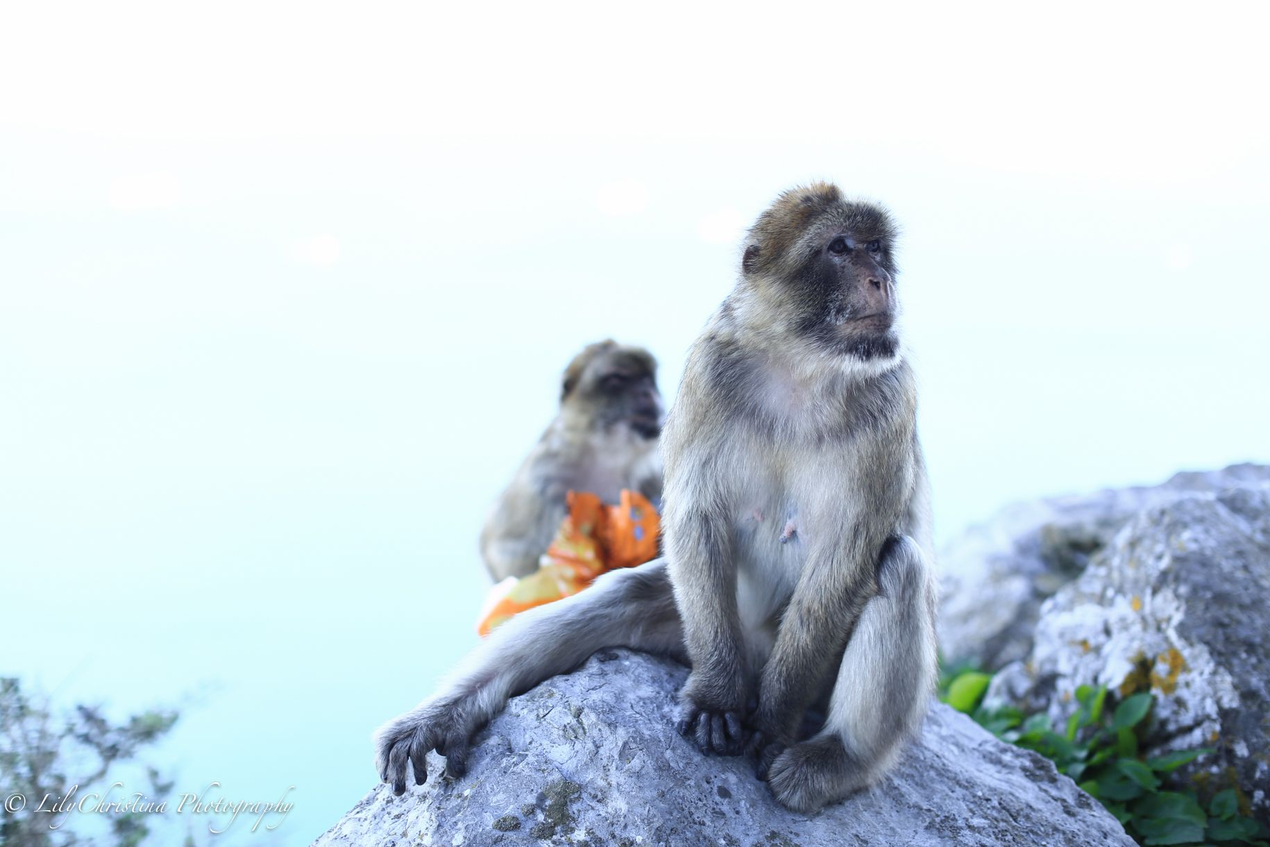 Gibraltar Monkies Gibraltar Monkies Apina Apinat Reissut Apina