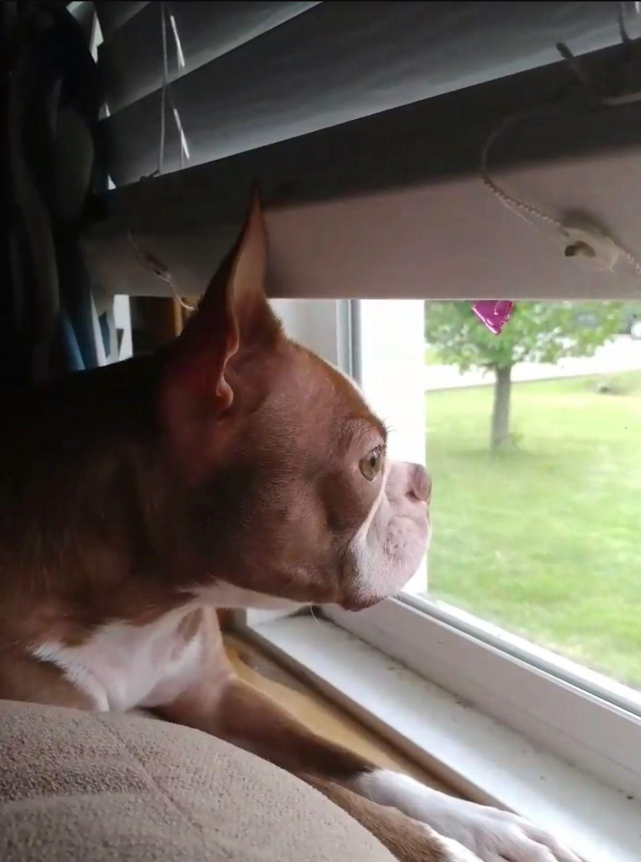 Boxer Looking Outside. Boston bull terrier, Boston