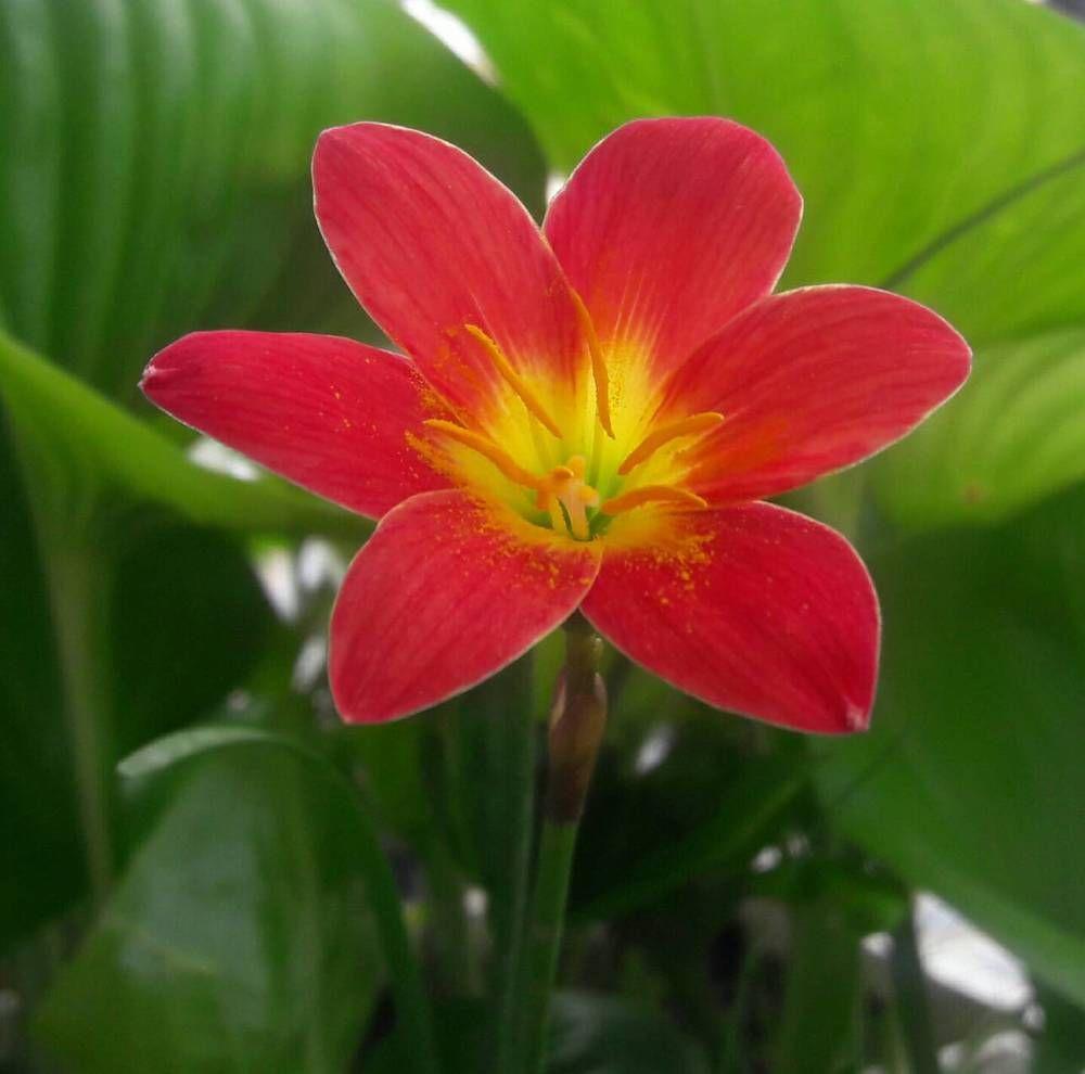 Rain Lily Bulb Zephyranthes Scarlett Ohara Fairy Magic Lily