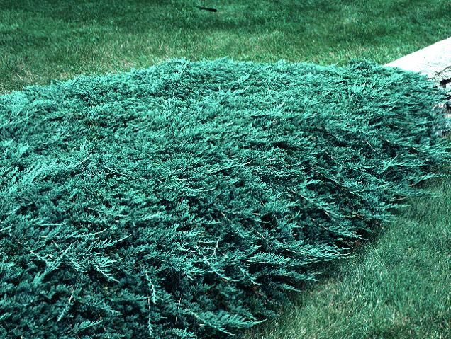 Blue Rug Juniper This Is The Lowest Growing Juniper Shrub It Is Extremely Cold Tolerant And Is A Rapid Grower With Blue Foliage Shrubs Blue Rug Juniper