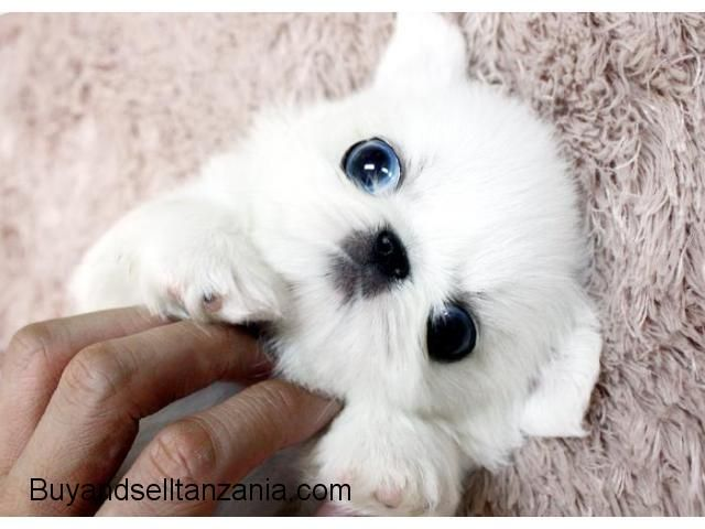Teacup Pekingese Puppies For Sale Classified Ads Tanzania Buy