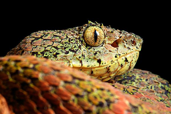 Spectacularly Dangerous By Alejandro Arteaga Via Flickr Eyelash Palm Pitviper