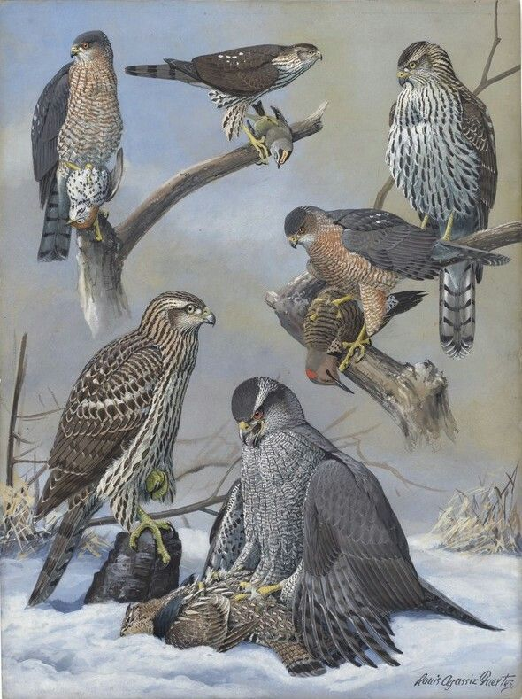 Pin By Hookipa On Flora Fauna Birds Of Prey Birds Painting Wildlife Artists