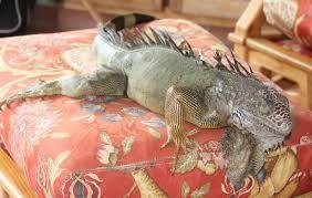 Image result for iguana in hammock.