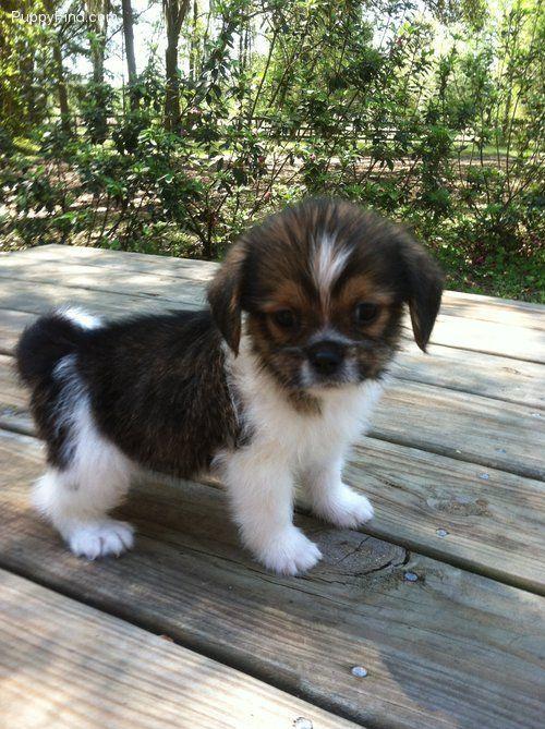 35 Amazing Shih Tzu Cross Breeds Shih Tzu Daily Shih Tzu Unique Dog Breeds Dogs