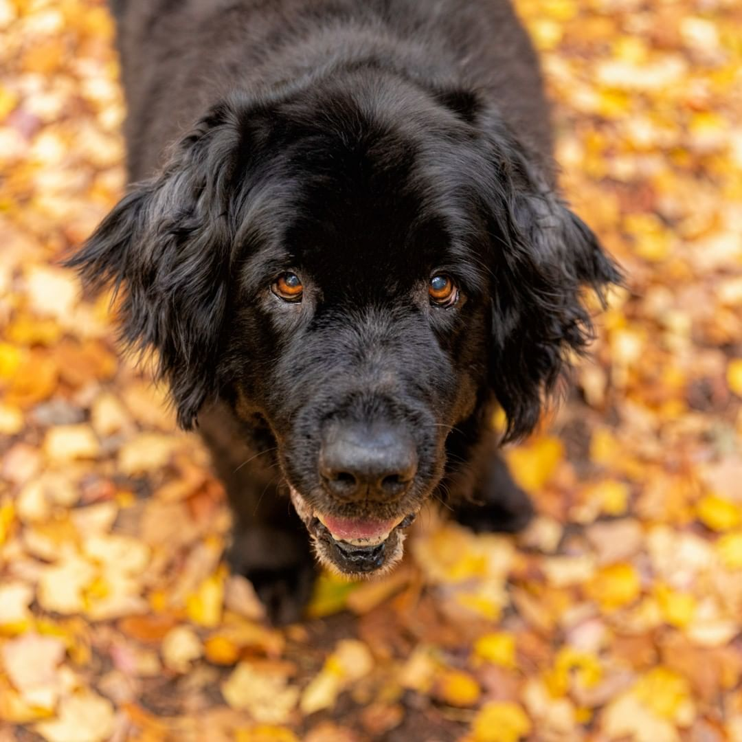 Pin on Newfoundland dogs why Newfs make great pets