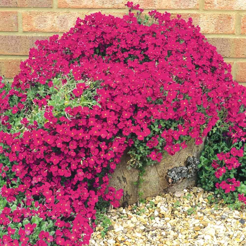 Aubrieta 'Red Cascade' Ground cover plants, Perennial