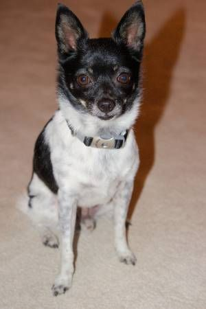Found Dog Black White Chihuahua Woodland Hills Eaves Apt
