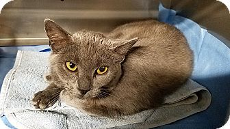 Trevose Pa Russian Blue Meet Fallon A Cat For Adoption Http Www Adoptapet Com Pet 18569972 Trevose Pennsylvania Cat Cat Adoption Grey Cats Pets