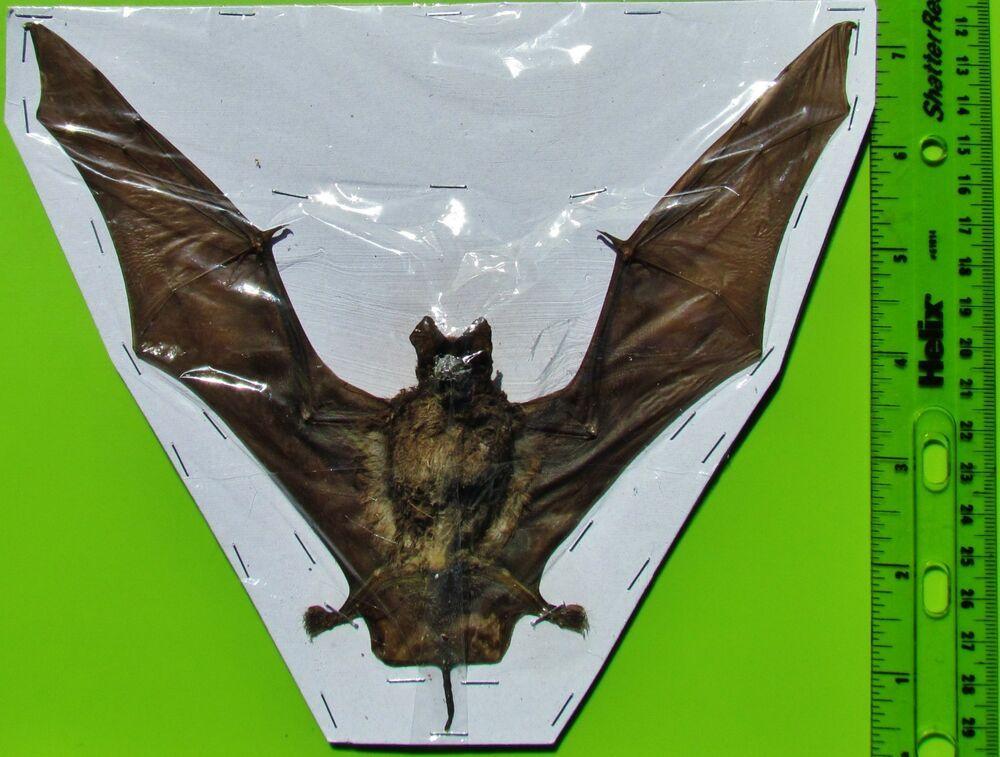 Lot of 5 Intermediate Roundleaf Bat Hipposideros larvatus Skeleton FAST FROM US