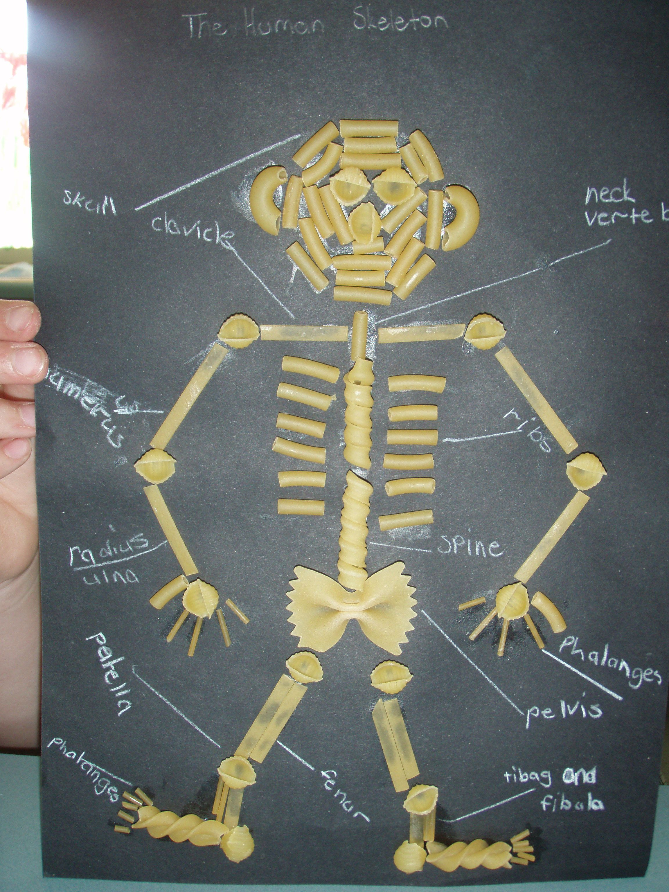 Pasta Skeletons Science Teaching Ideas Science Teaching