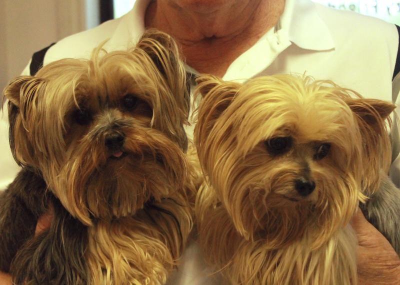 Adopt jasmine and mitzi on yorkie dogs yorkshire
