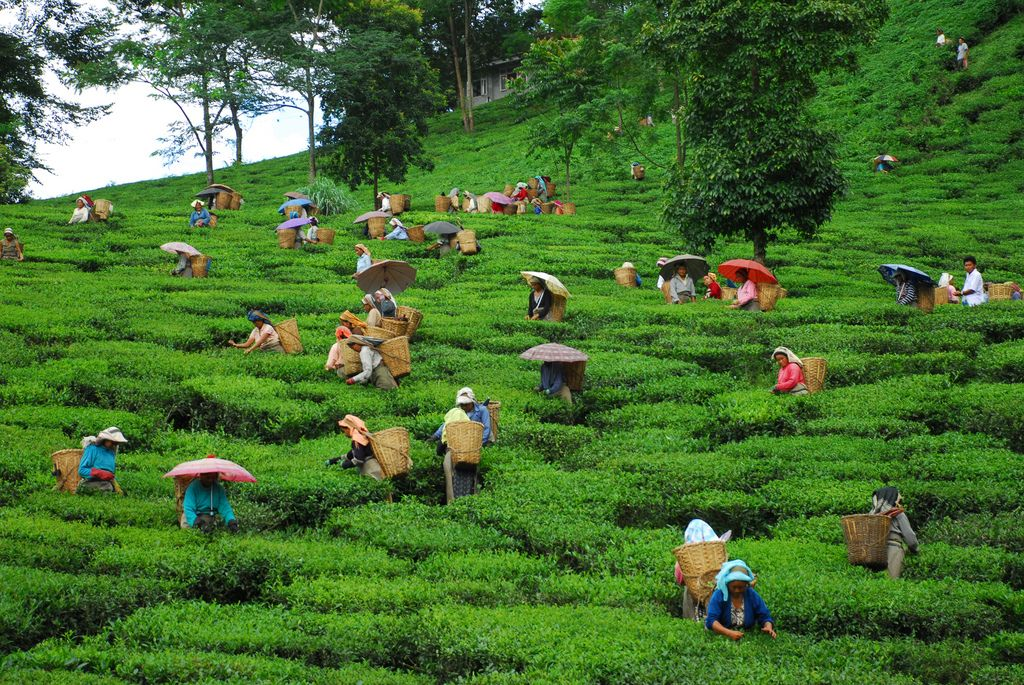Tea Garden Filled With Colourful Tea Pickers In 2020 Tourism