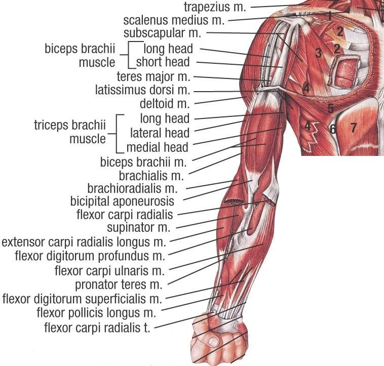 human body parts diagram upper human body diagram #11
