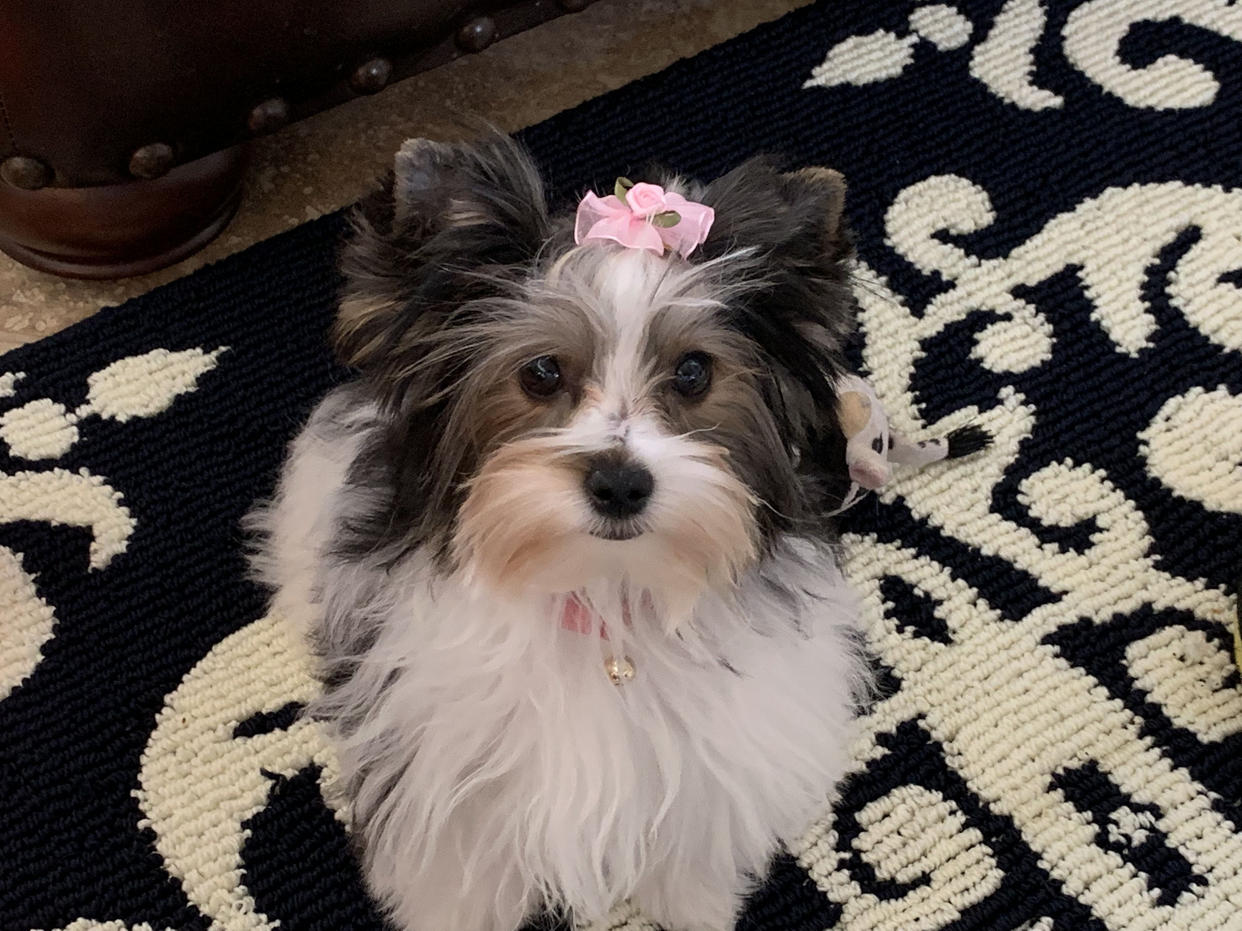 Pin by Tanya Johnson on Biewer Terrier Yorkie, Puppies