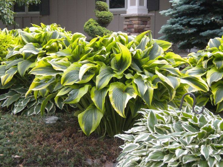 Large Hosta Varieties Identification Montana Aurea Hosta Very