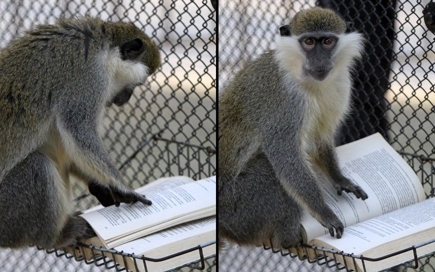 A green sea cat monkey looks as if it is reading a book in its enclore at at Sofia Zoo, Bulgaria