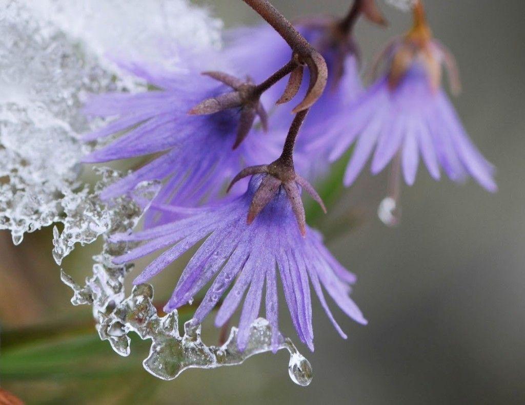 Soldanella Alpina Hd Flowers Types Of Purple Flowers Flowers