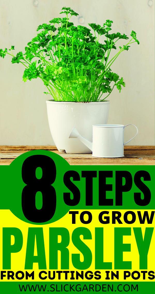 8 Steps To Grow Parsley From Cuttings In Pots Regrow Parsley In 2020 Growing Parsley Growing Herbs At Home Growing Vegetables