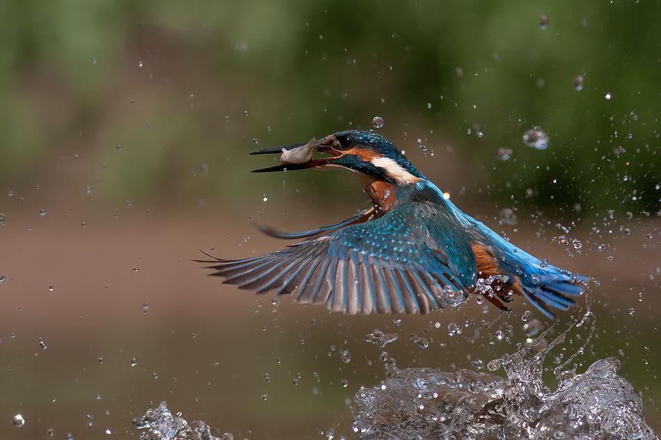 Kingfisher Animals, Kingfisher, Birds