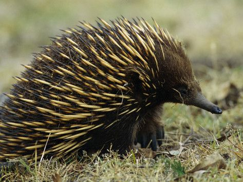 Short Beaked Echidna Or Spiny Anteater Tachyglossus Aculeatus