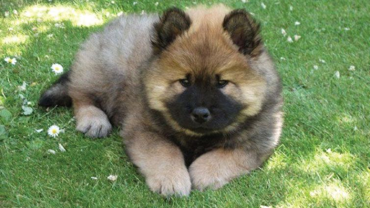 30 Small Hypoallergenic Dogs That Don T Shed Barking Royalty Hypoallergenic Dogs Small Hypoallergenic Dogs Eurasier
