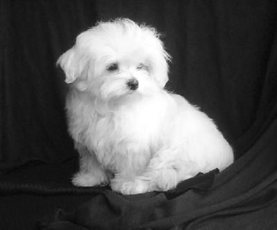 Maltese Dog Google Search Maltese Dogs