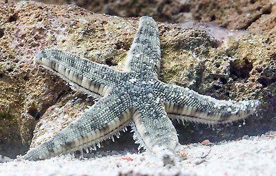 Sand Sifting Starfish Saltwater Fish Tanks Saltwater Aquarium Fish Starfish Tanks