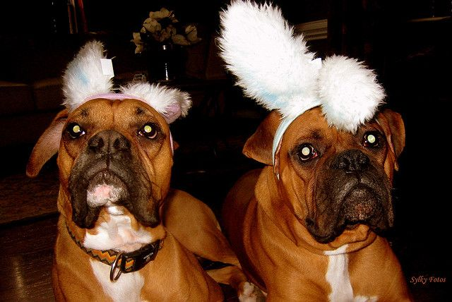 Pets: Boxer puppy and young fluffy rabbit photo WP34865  Boxer Dogs With Bunnies