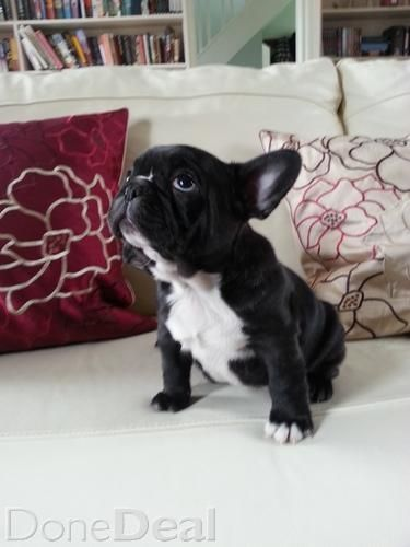 French Bulldog Puppies French Bulldog Puppies Bulldog Puppies