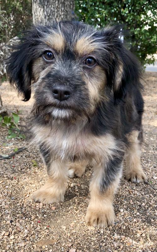 Adopt Bibi On In 2020 Yorkshire Terrier Terrier Mix Terrier