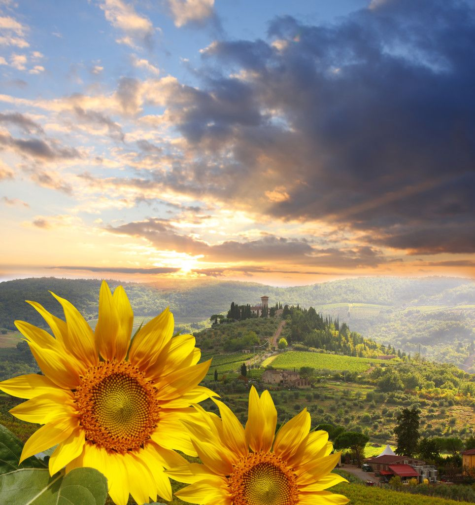 Chianti vineyard with sunflowers in Tuscany, Italy