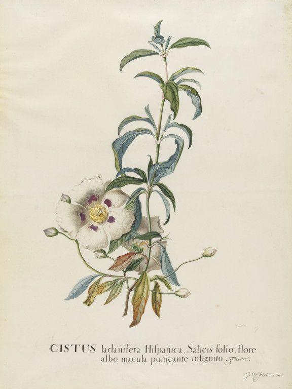 my first tattoo... Gum Rockrose or flor de Jara: A healing herb that ...