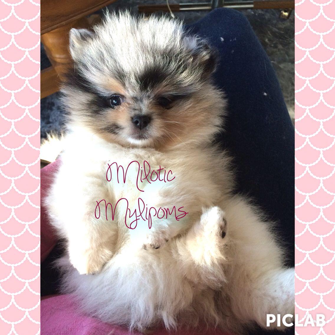 Baby bear, bear cub, pomeranian, Merle pomeranian, blue Merle pomeranian. Cute puppy.