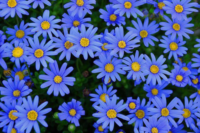 Daisy Seeds Felicia Blue Daisy Seeds 200 Seeds BULK SEEDS
