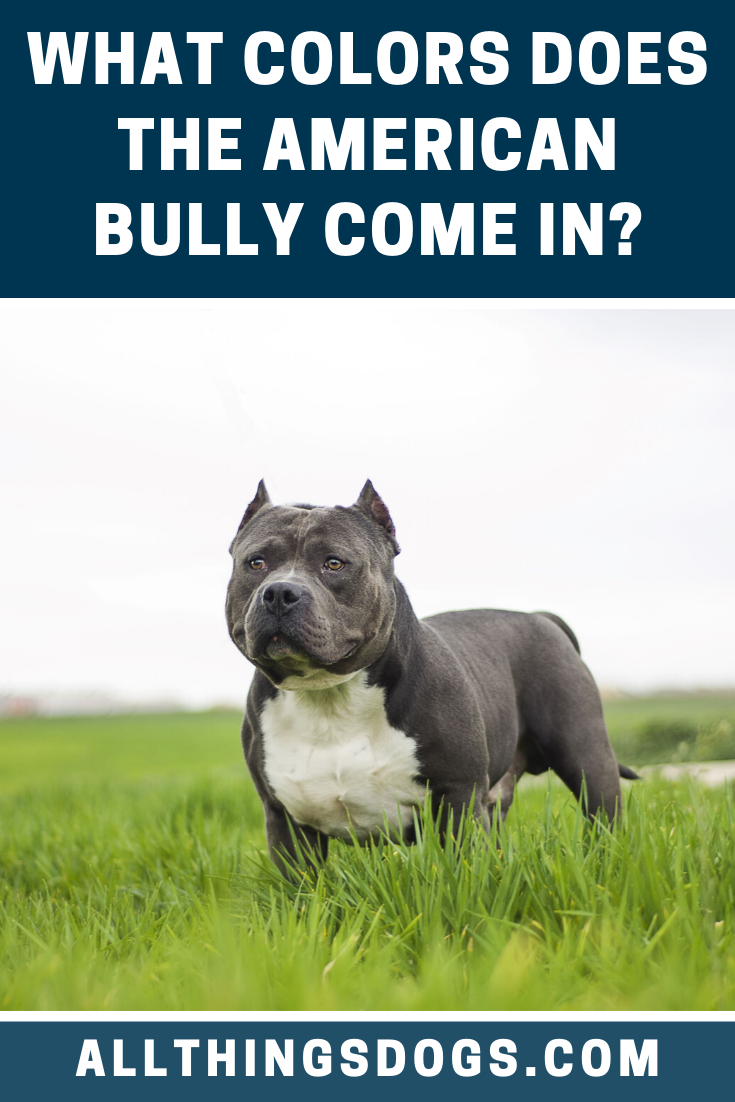 The Front Left Side Of A Black With White American Bully That Is Standing On Lawn It Is Looking Forward And Th Bully Breeds Dogs Bully Dog Dog Breeds Pictures