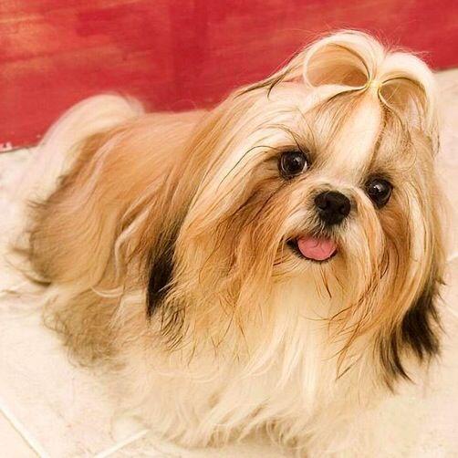 Pin By Mis Curiosas Creaciones On Dream Pets Dog Wallpaper Cute Dog Wallpaper Lhasa Apso