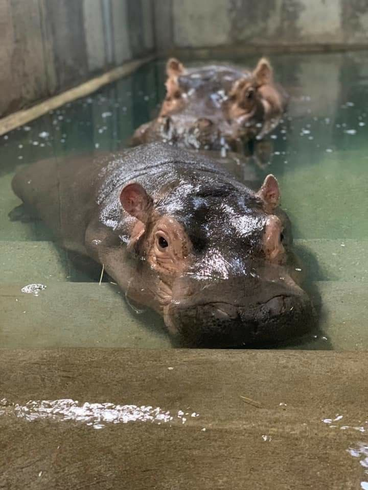 1 30 19 Zoo Animals Hippopotamus Baby Hippo