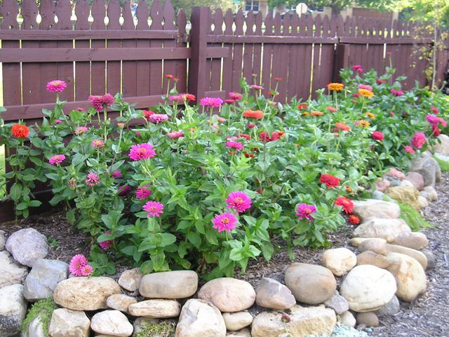 Bon Zinnia Flower Beds   Google Search