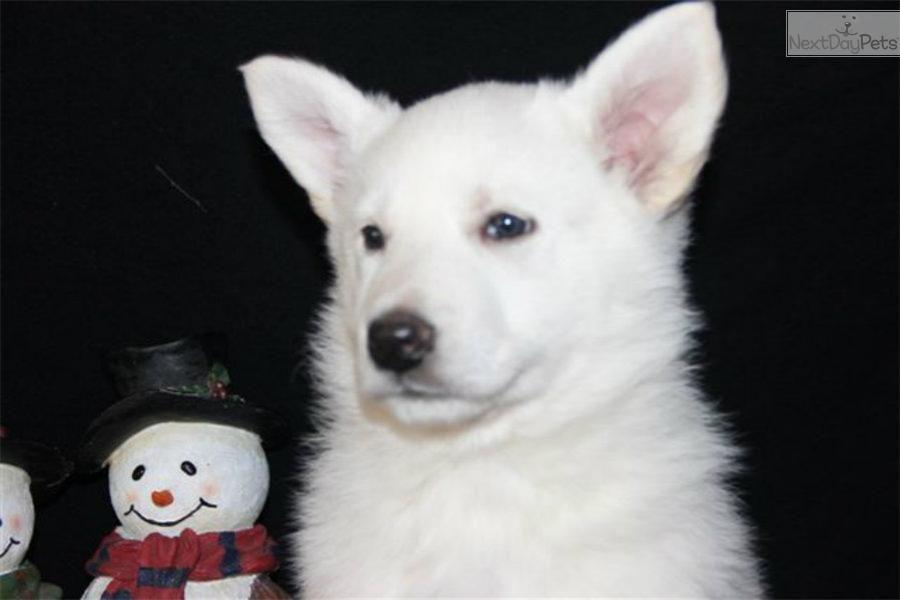 Meet cindarella ln a cute german shepherd puppy for sale