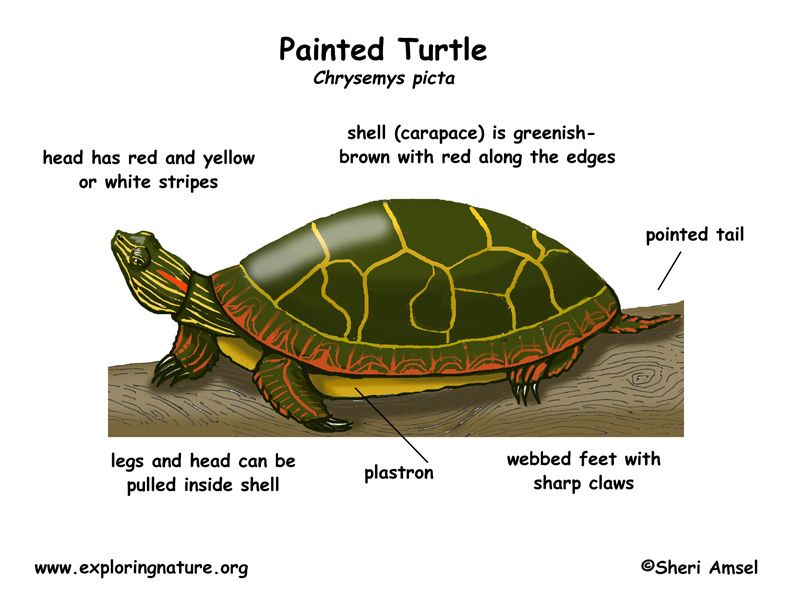 Painted Turtle Diagram Trusted Wiring Diagram