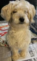 Adopt Darcy on | Yorkie dogs, Poodle mix dogs, Terrier ...
