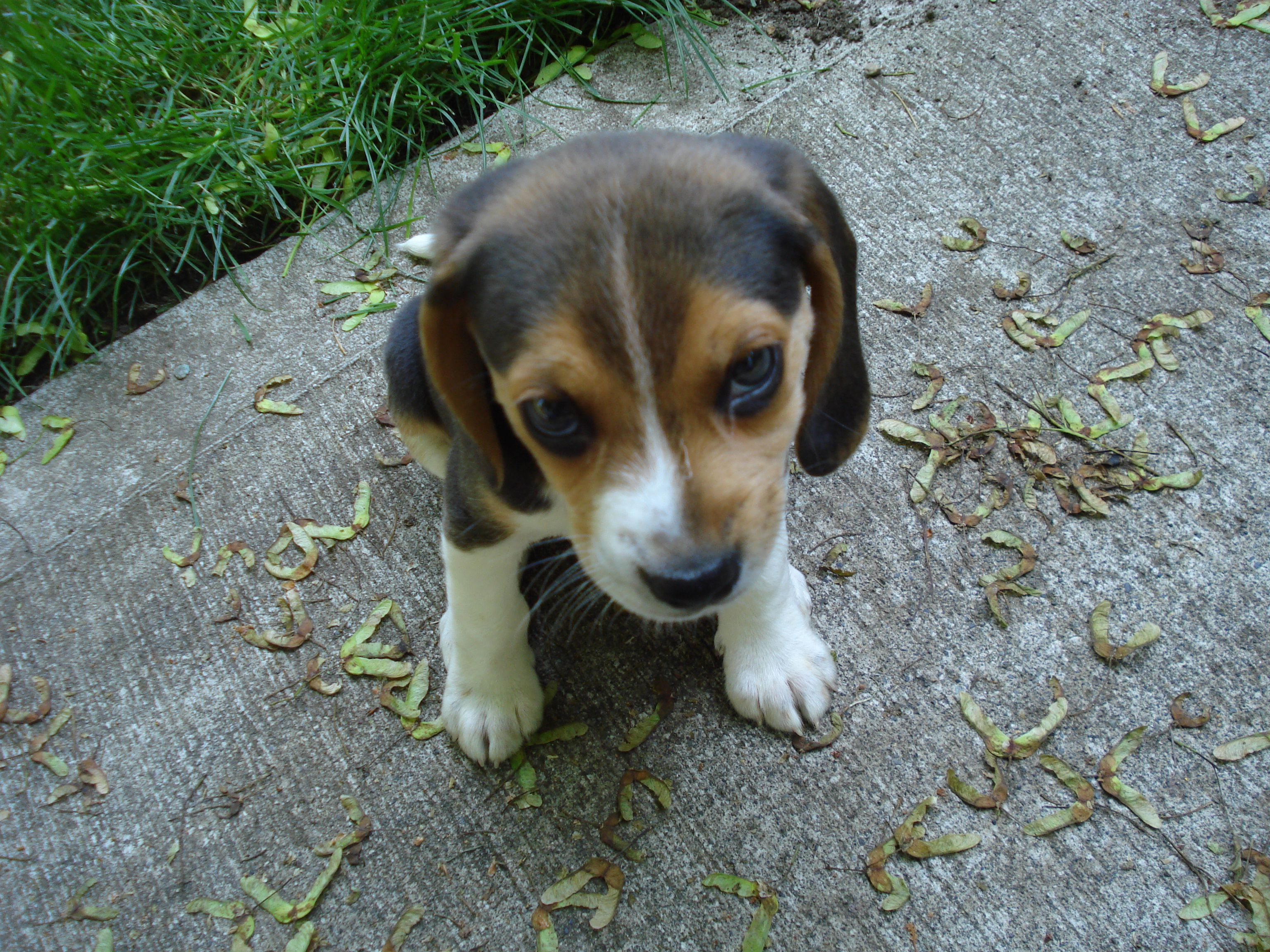 Adorable beagle puppy looking guilty animals pinterest adorable beagle puppy looking guilty voltagebd Image collections