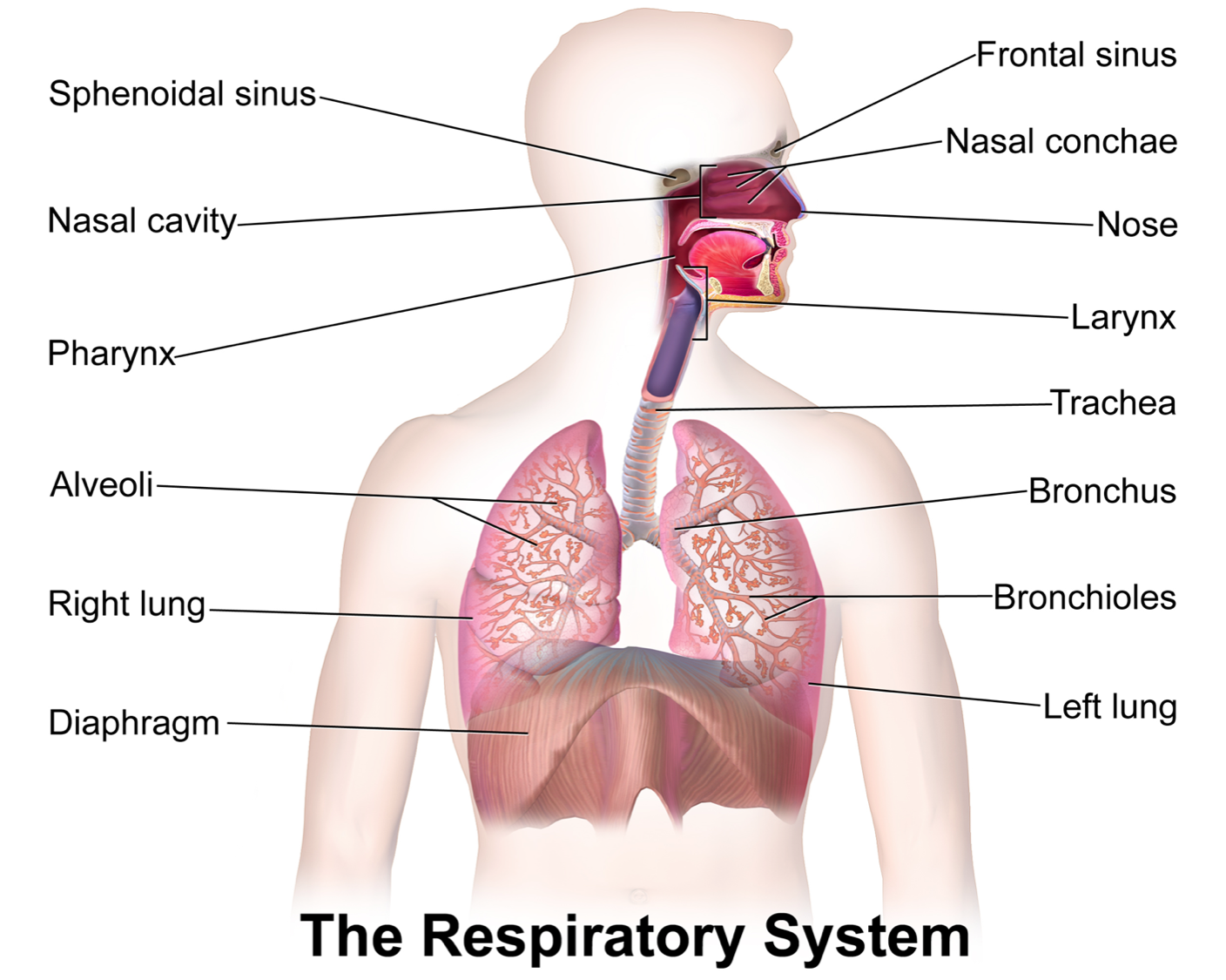 Ayurvedic Treatment for Respiratory Diseases | Respiratory system ...