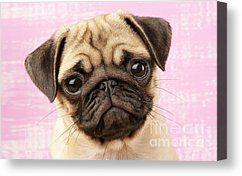 Pug Portrait Canvas Prints Pug Portrait Canvas Print By Greg