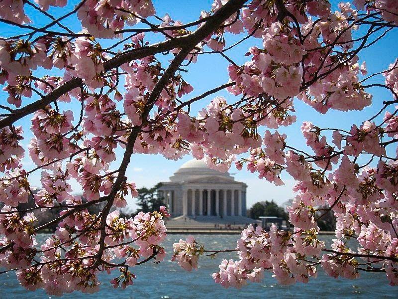 Okame Cherry Blossom Tree Cherry Blossom Tree Flowering Cherry Tree Blossom Trees